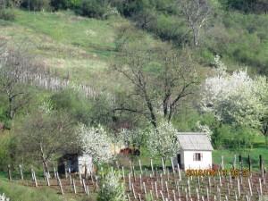 Nekézsenyi szőlők tavasszal 3.